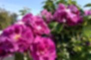 21.08.15, Lilla roser, kl. 10.39.jpg