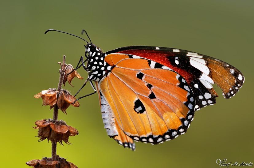 Danaus chrysippus - Plain Tiger Butterfly