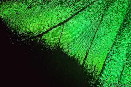 Iridescent green butterfly - wing