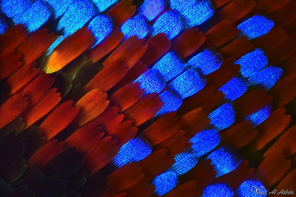 02. Papilio Maakii.jpg