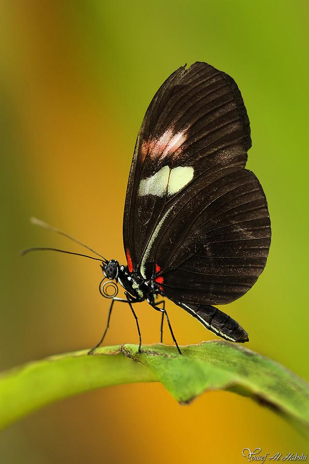 Heliconius melpomene  - Common Postman butterfly