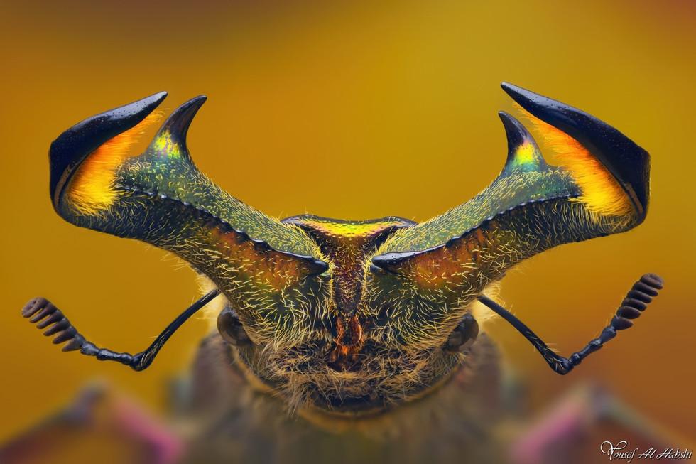 Sphaenognathus feisthameli