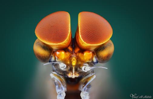Mayfly (Male)