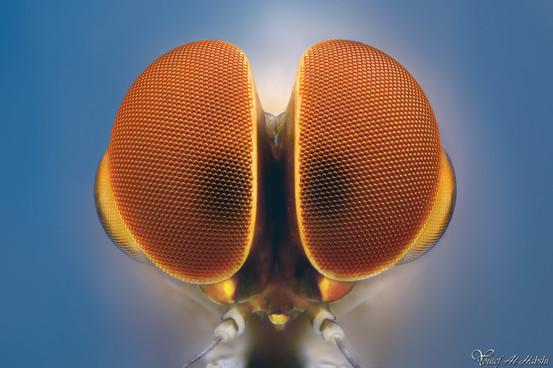 Mayfly - Ephemeroptera