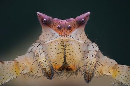 Crab Spider (Female)