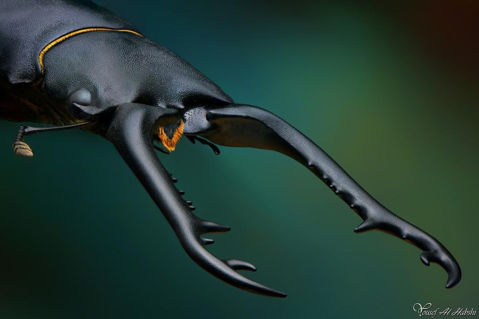 Prosopocoilus giraffa timorensi