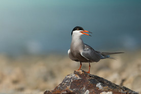 White cheeked tern