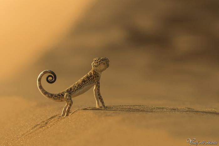 Toad Head Gecko