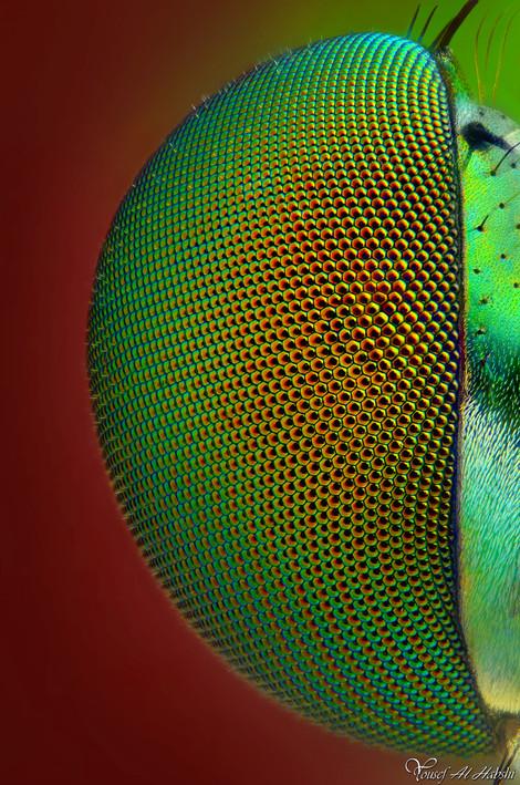 Dolichopodidae's compounds eyes