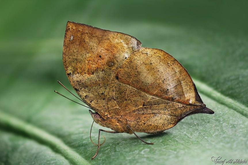Kallima inachus - Dead leaf butterfly