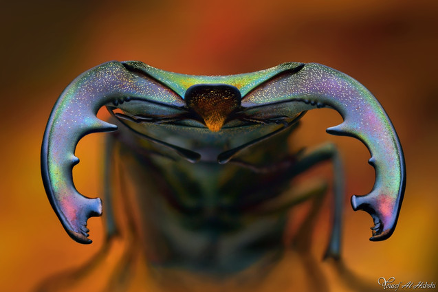 Cyclommatus canaliculatus freygessene