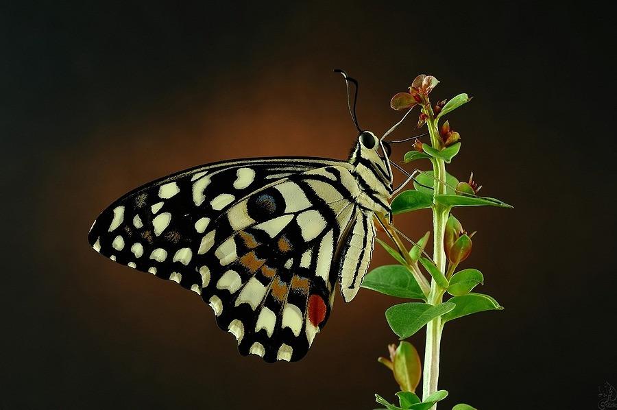 Papilio demoleus - Lime Butterfly