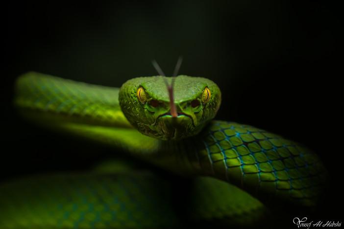 Siamese Peninsula Pit Viper
