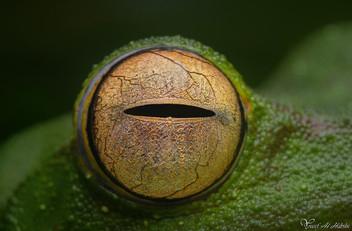 Flying Frog's eye