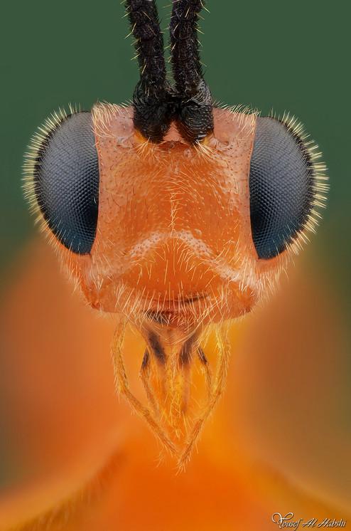 Parasite wasp