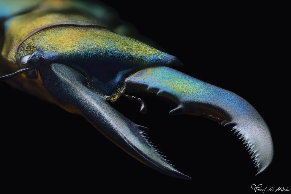 Cyclommatus metallifer finae2