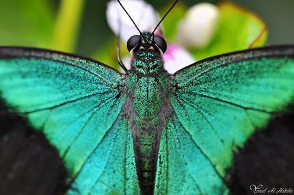 Iridescent green butterfly