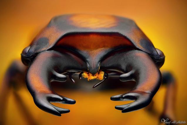 Lucanidae - Prosopociolus occipitalis