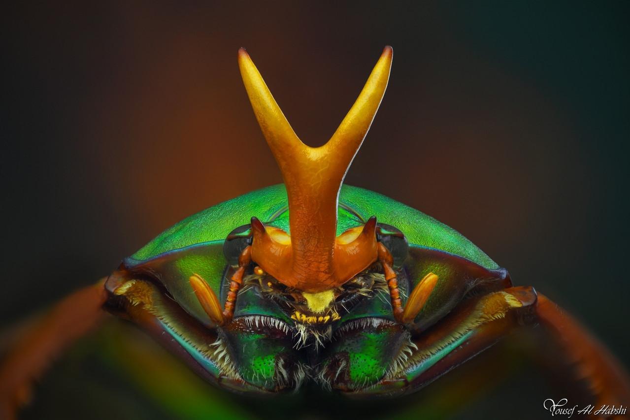 Cetonidae eudicella