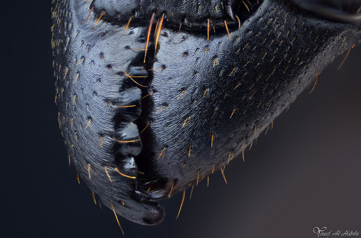 Samsun Ant - jaws