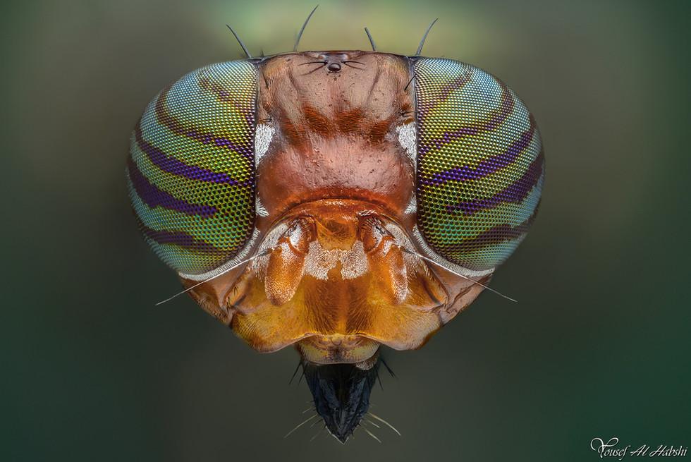 Physiphora Smaragdina