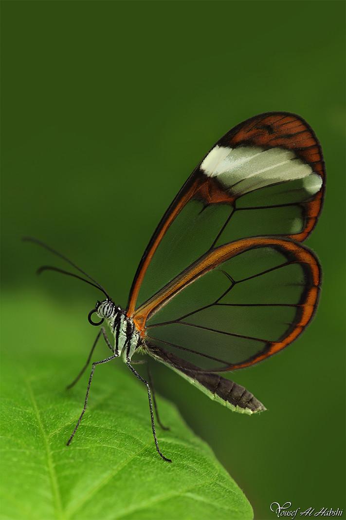 Greta oto - Glasswing Butterfly