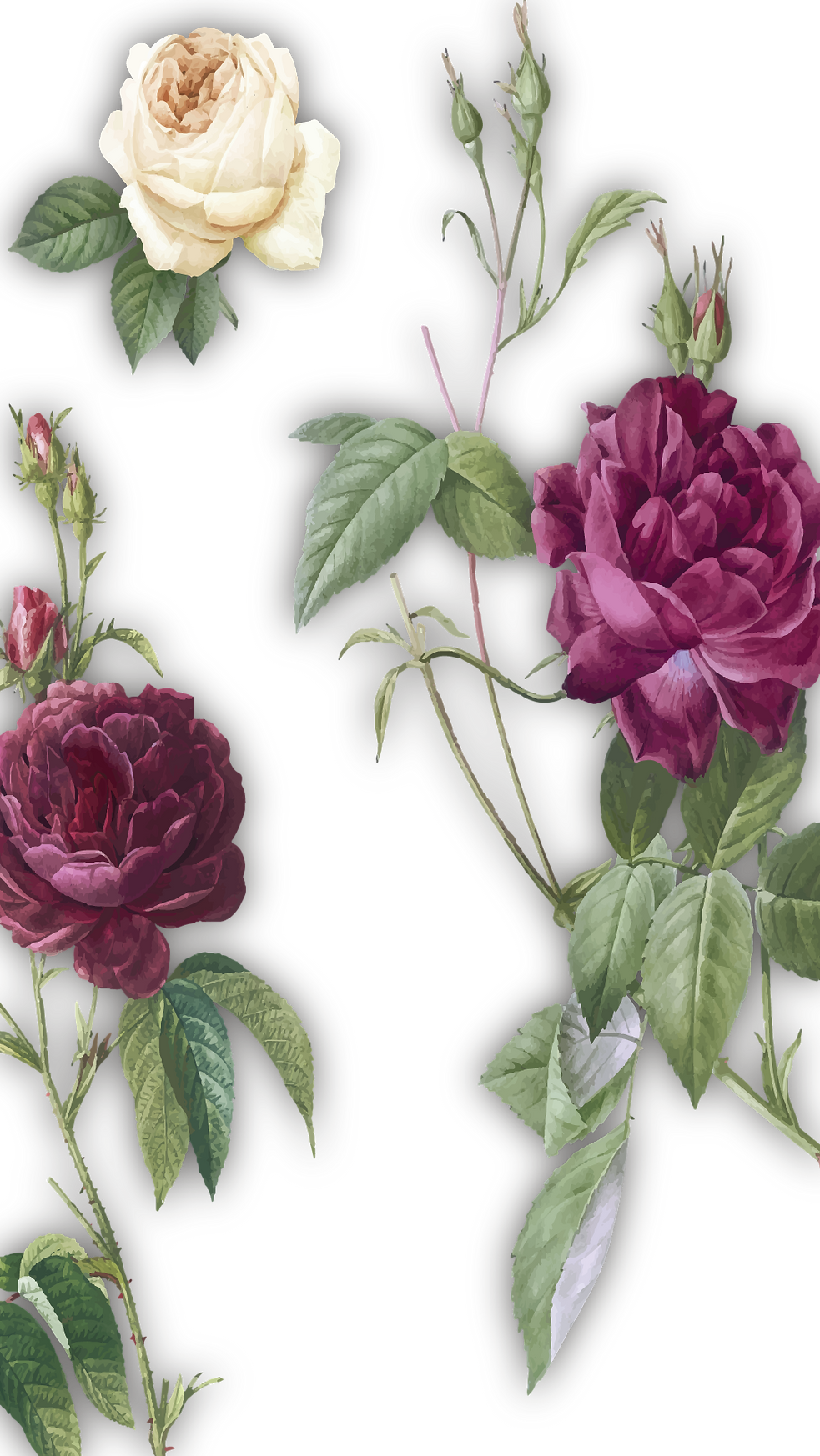 Roses.png