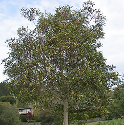 Water Gum Tree.png