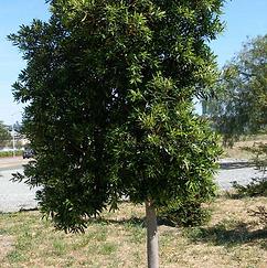 Hybrid Grecian Laurel.png