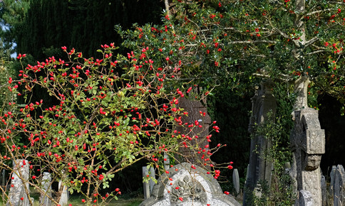 rose hips and holly berries