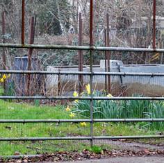 daffodils behind bars