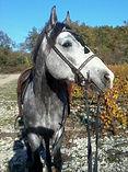 Cheval gris avec briderie espagnole