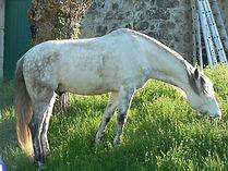 Hongre PRE Ardèche