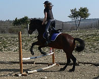 Cheval hongre PRE bai qui saute un obstacle