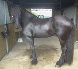 cheval Frison en Ardèche