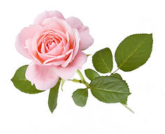 Pink%20rose%20isolated%20on%20white%20ba