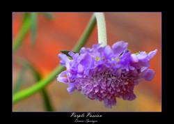 Purple Passion D Springer
