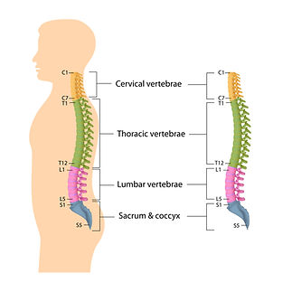 Cervical spine, cervicalgie, nekpijn, sportkinesitherapie, ruggenwervel, wervelkolom, kinesitherapie.