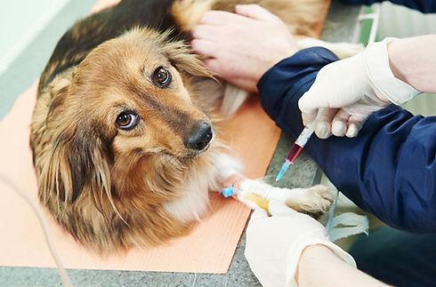 seu-cachorro-pode-doar-sangue-hund-for-d
