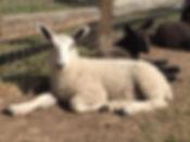 BFL lamb 2019.jpg