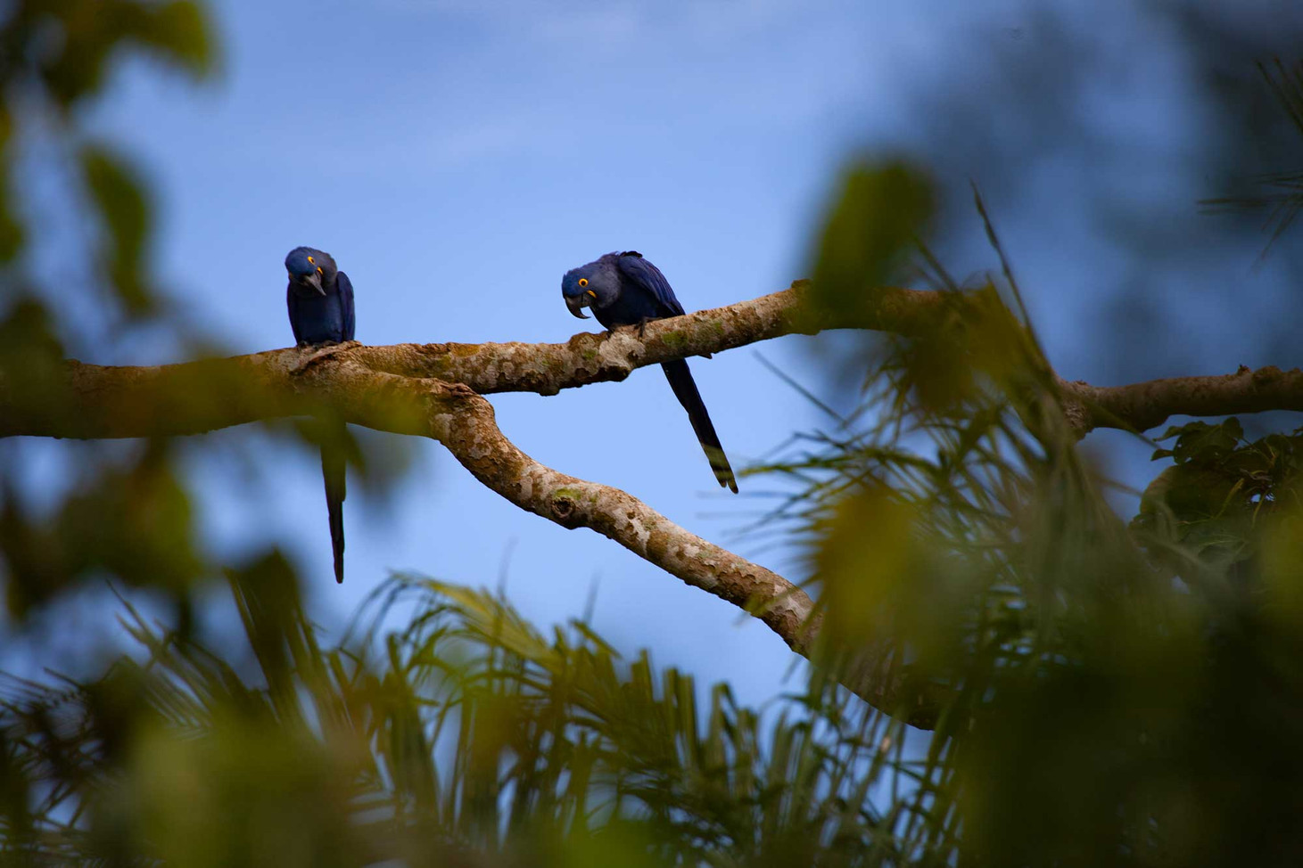 The Hyacinth Macaw is the largest flying parrot species. Here, two hyacinth macaws gaze down through the trees.
