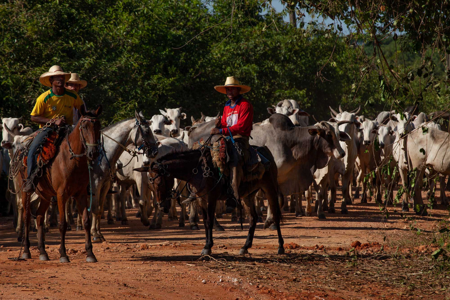 Cowboys patrol areas for illegal cattle raising, which is frequent due to high profitability and low fines from the government.
