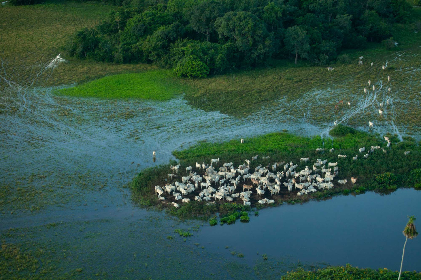Flying overhead the Pantanal, a group of cattle huddle to one of the spots of remaining land in a flooded area.   Cattle raising and agriculture is the number one reason for deforestation of the Pantanal.