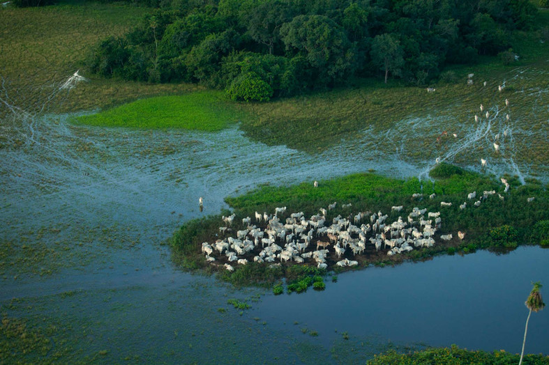 Flying overhead the Pantanal, a group of cattle is huddle to one of the spots of remaining land in a flooded area.   Cattle raising and agriculture is the number one reason for deforestation of the Pantanal.