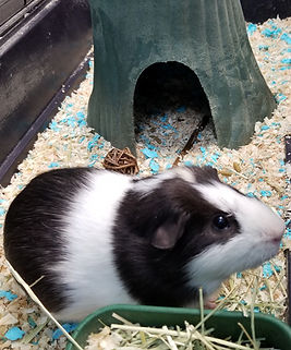 Guinea pig small animal rodent pocket pet exotic species boarding