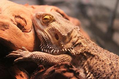 Beardie dragon reptile exotic animal care boarding large small lizards gecko uromastyx tegu monitor