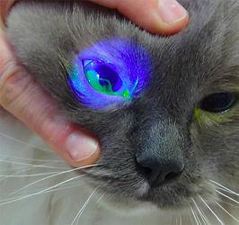 Corneal Ulcer Cat.jpg