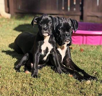 Veterinarian Boxer puppy Full-service veterinary practice