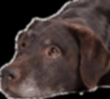 senior-dog.png