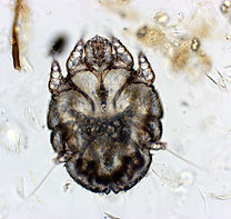 Sarcoptic Mange sarcoptes scabies zoonotic diseas itchy ears cytology rabbit cat dog
